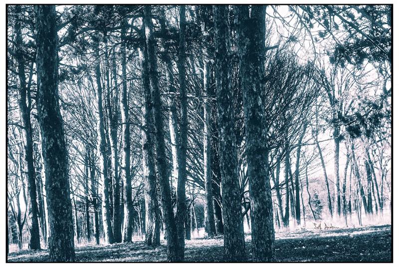 Morton Arboretum Pine - Polapan